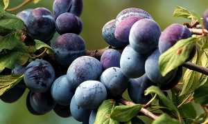 Выращивание сливы: причины плохого плодоношения слив