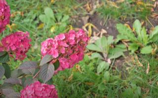 Мои метельчатые гортензии цветут пышно и ярко каждый год — а весь секрет в осенней посадке и правильной подготовке к зиме. Делюсь секретами