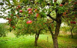 Причины растрескивания коры яблони