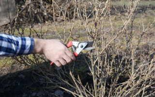 Как делать обрезку крыжовника весной и осенью