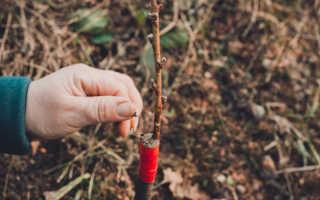 Легкий и эффективный способ прививки деревьев: подробная инструкция