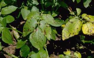 Борьба с сухой пятнистостью картофеля