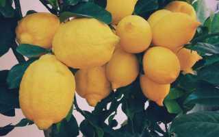 Инструкция по выращиванию лимонного дерева