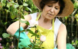 Как подготовить садовые розы к зимовке