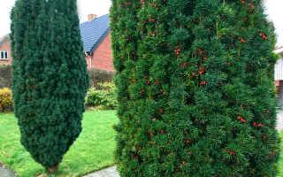 Хвойное дерево тис: популярные разновидности. Особенности выращивания, размножения