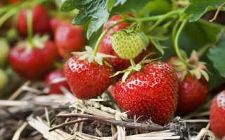 Клубника: свойства, типы, условия выращивания