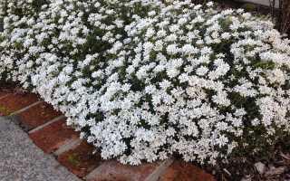 Иберис: основные правила выращивания