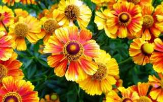Гелениум: все о выращивании и уходе, сочетание с другими цветами