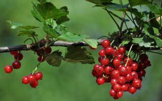 Красная смородина: этапы посадки и уход за кустом