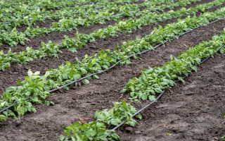 Осенние удобрения для картофеля