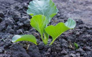 Капуста: советы по выращиванию