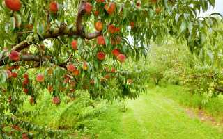 Северные персики: как вырастить южное дерево в средней полосе