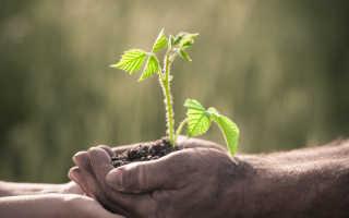 Предпочитаю сажать малину осенью — получаю крепкие растения и богатые урожаи. Делюсь своими секретами