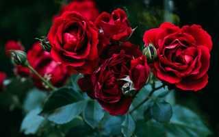 Как отличить побег шиповника у розы