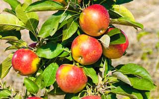 Колоновидные яблоки: сорта, уход, плюсы выращивания