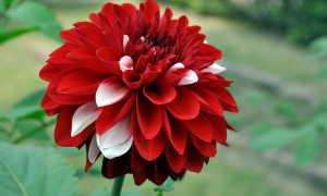 Георгина: история цветка, сорта, содержание и уход