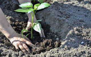 Выращивание перца в открытом грунте: почему кусты вянут и как спасти урожай