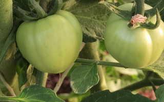Зеленые помидоры в ведре оригинальным способом