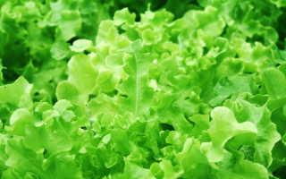 Не запутаться в выборе — все о видах и популярных сортах салата