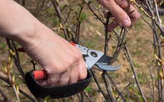 Осенняя обрезка смородины: рекомендации и советы опытных садоводов