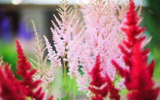Астильба: разновидности, рекомендации по выращиванию