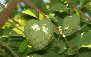 Выращивание анноны в домашних условиях: уход и размножение
