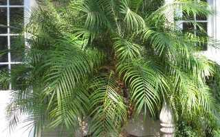 Финиковая пальма из косточки: секреты выращивания