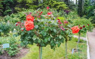 Самые распространенные причины гибели молодых посадок роз