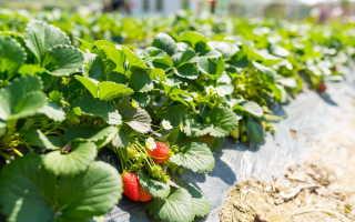Все о выращивании клубники в открытом грунте