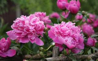 Подкорм пионов весной для пышного цветения