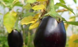 Баклажаны без горечи: лучшие неприхотливые сорта для теплицы