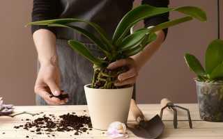 Секреты рассадки орхидей: из 1 цветка 100