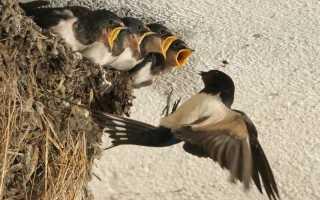 Как помочь ласточке свить гнездо на вашем участке