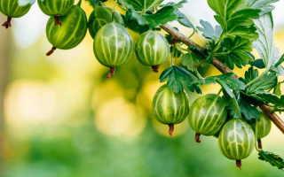 Выращивание крыжовника без химии: полив, подкормки