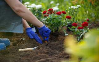 Размножение роз посредством черенкования осенью: советы для начинающих