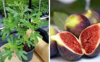 Небесплодная смоковница: как получить урожай инжира в средней полосе