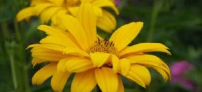 Гелиопсис: о выращивании, уходе и борьбе с вредителями