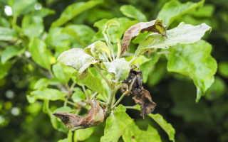 Что делать, если на яблоне и груше скручиваются листья: эффективные методы и советы