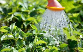 Как следует правильно поливать клубнику: советы