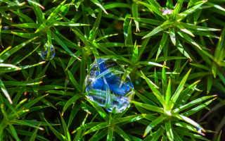 Можжевельник — выращивание, уход и размещение в композициях