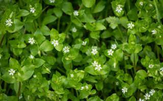 Мокрица на участке — сорняк, который несет вред и пользу