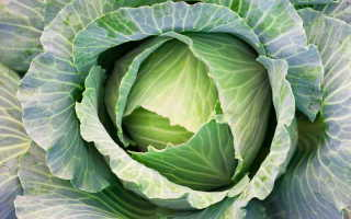Лучшие сорта капусты для выращивания в открытом грунте