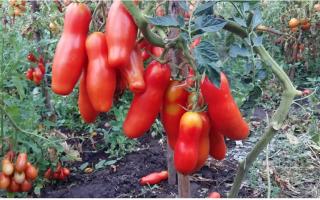 Томат Дрова: характеристики, особенности выращивания