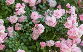 Грамотный уход за розами