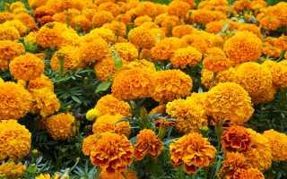 Цветы, которые дачники высаживают и сеют в августе