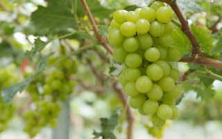 Обрезка винограда: особенности этой процедуры
