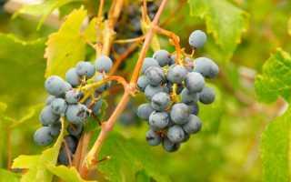 Как подготовить виноград к посадке