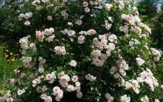 Как подготовить к зимовке плетистую розу