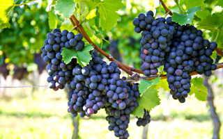 Сорта винограда, которые можно успешно культивировать в средней полосе России