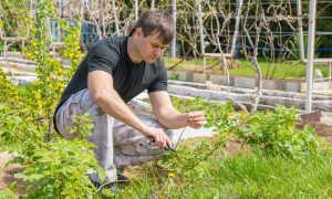 Двойная обрезка малины: преимущества и недостатки